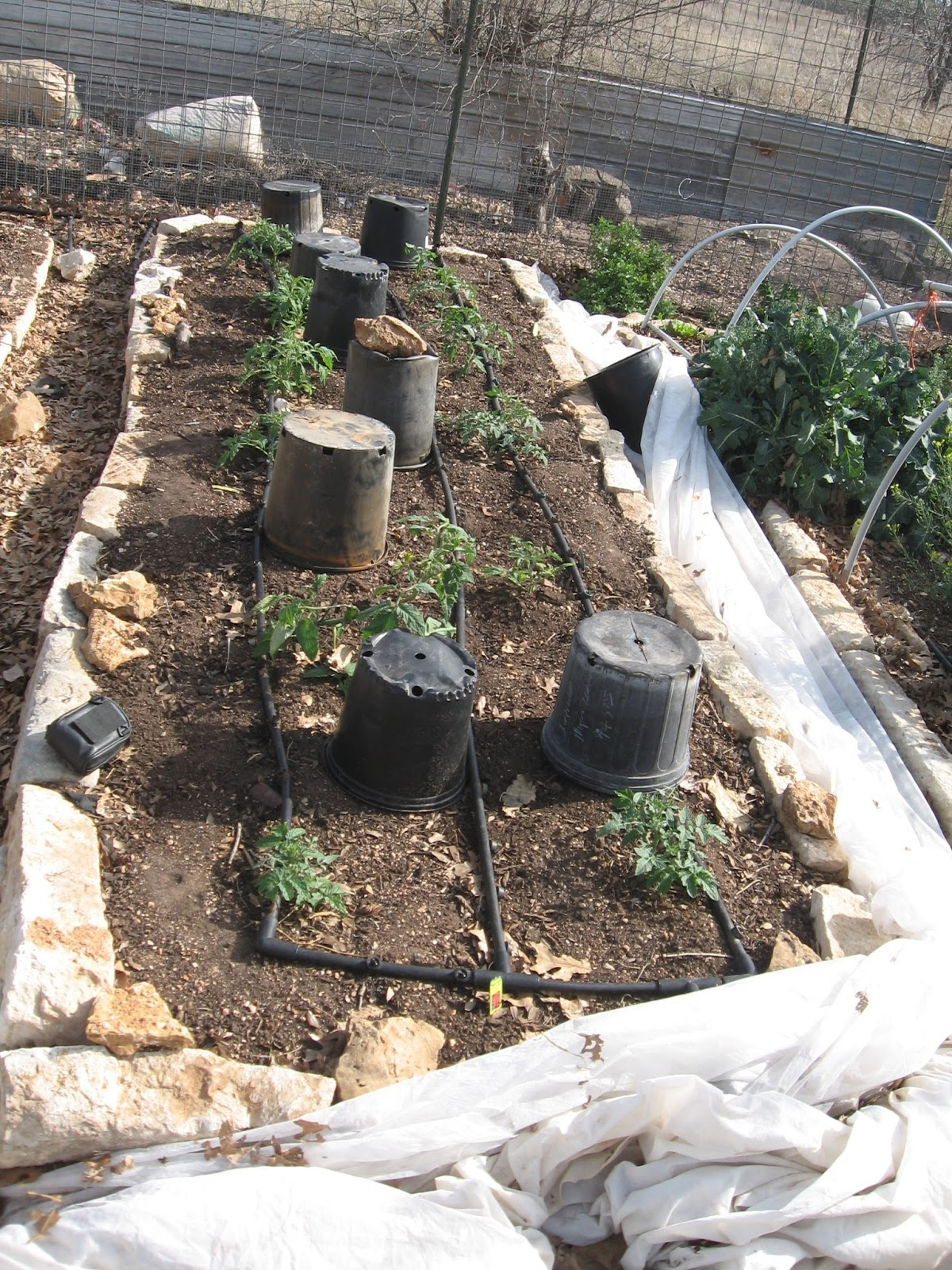 Organicgreendoctor: Keyhole Garden And Tomatoes
