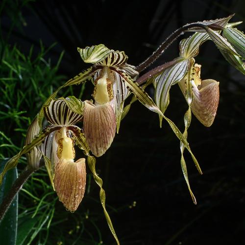 Paphiopedilum glanduliferum 200120164
