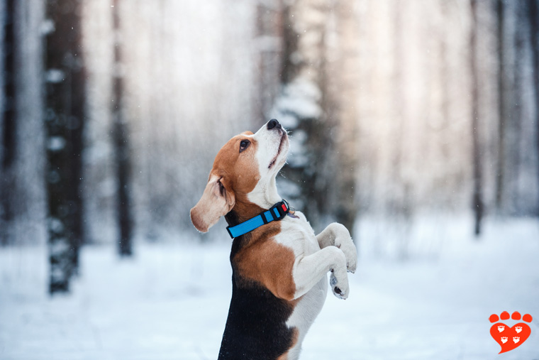 Beagle in a winter wonderland