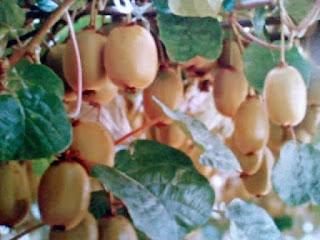 Gambar Manfaat Kiwi Untuk Kesehatan Dan Fakta Mengagumkan Kiwi