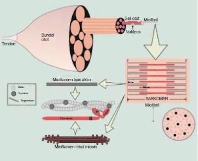 Macam-Macam dan Jenis-Jenis Struktur Serta Mekanisme Kontraksi atau Gerak Kerja Otot Pada Sistem Gerak Manusia