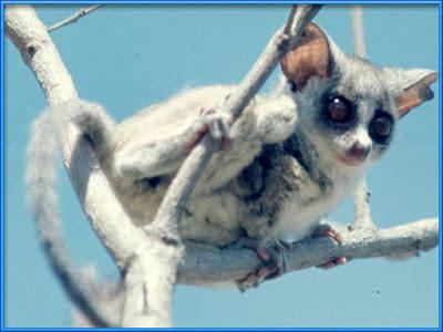 Lemur [Microcebus murinus] Facts