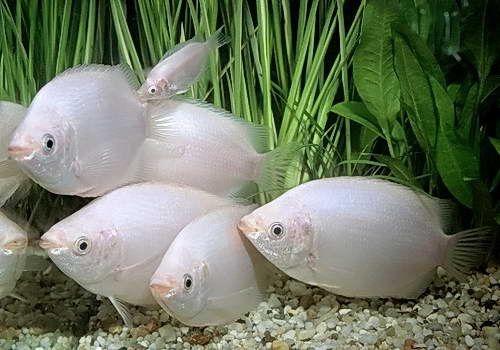 Budidaya Ikan Tambakan di Pekarangan