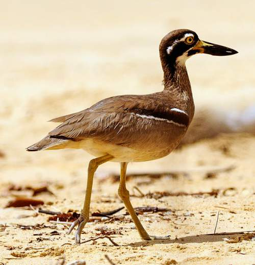 Indian birds - Image of Beach thick-knee - Esacus magnirostris