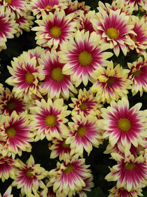 Purple and yellow single mums at the Allan Gardens Conservatory 2015 Chrysanthemum Show by garden muses-not another Toronto gardening blog