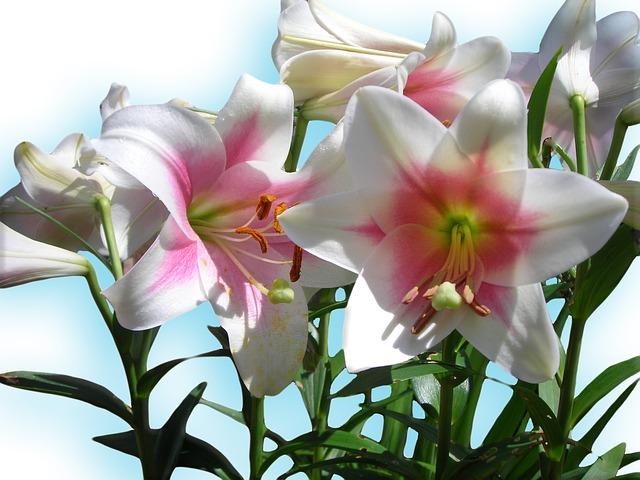 hoa ly vàng đẹp nhất thế giới 1