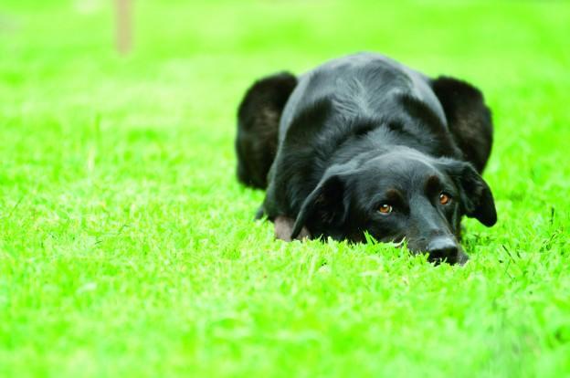 Chó bị ho cũi phải làm sao?