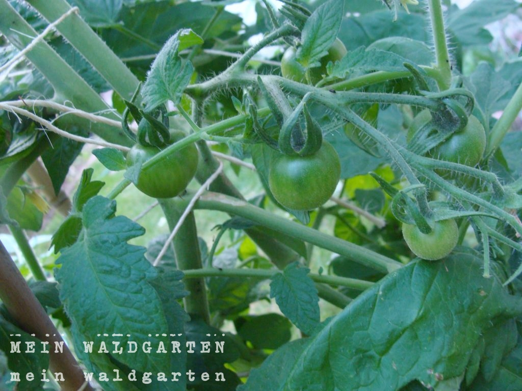 mein waldgarten tomaten erbsen und liebst ckel. Black Bedroom Furniture Sets. Home Design Ideas