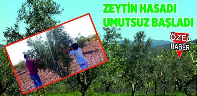 Zeytin'de verim Bozova'da düşük