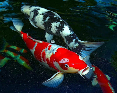 koi fish pictures