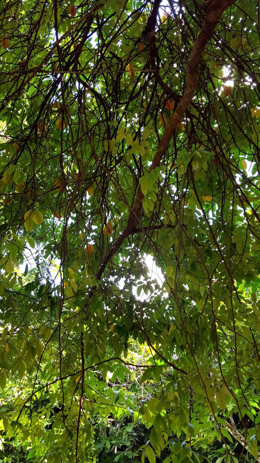 Drzewo karambola owoc w kształcie gwiazdy