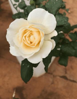 Hoa hồng 15