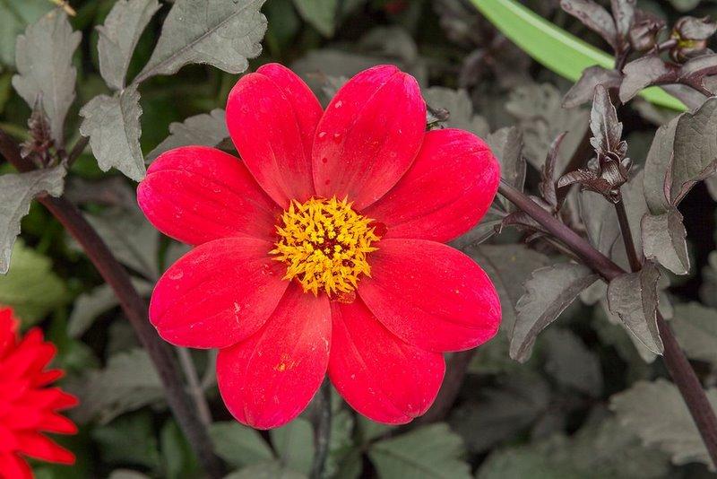 Dahlia 'Mystic Wonder'