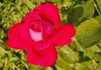 Утренняя роса на красной розе