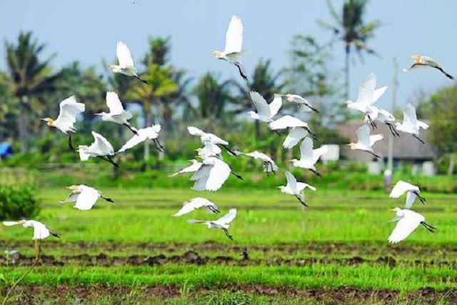 Barisan Burung Blekok Wisata Hutan Mangrove Kampung Blekok