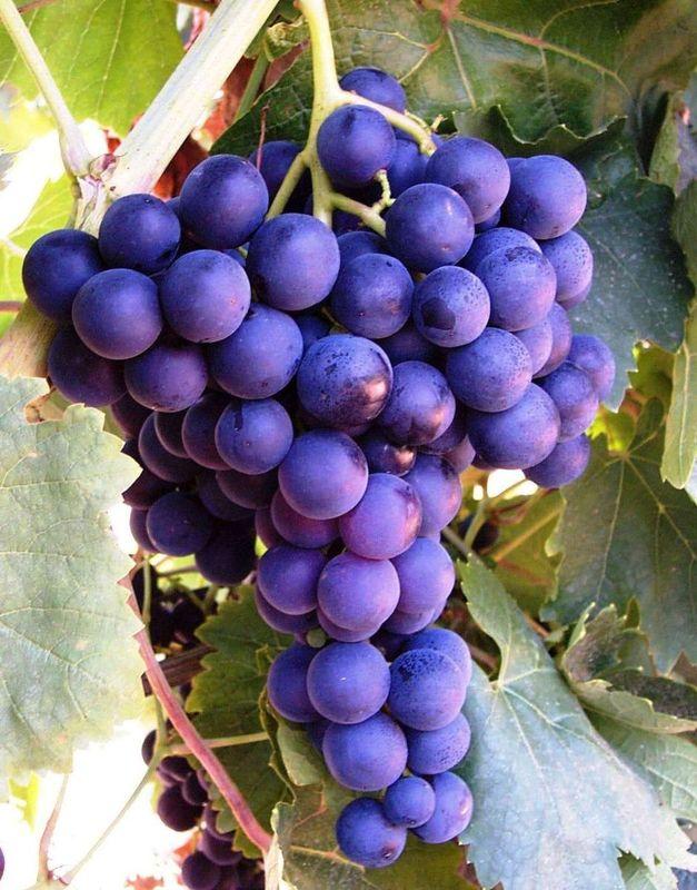 89+ Gambar Anggur Warna Ungu HD