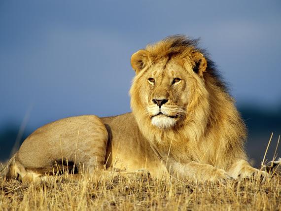 Afrički lav download besplatne pozadine za desktop 1600x1200