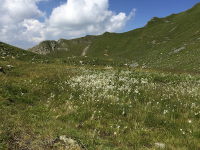 High meadow view near Rauchkofel with the white of Eriophorum or cottongrass.