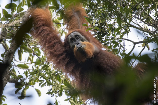 Newly discovered orangutan species is 'among the most threatened great apes in the world'