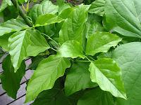 刀豆(なたまめ)の葉