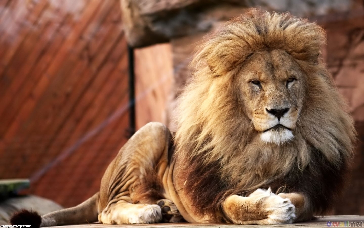 Male Lion Wallpapers  Animals Library