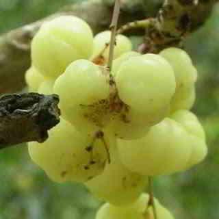 merupakan buah yang populer dengan rasa asam dan kecut Manfaat Buah Cermai bagi Kesehatan