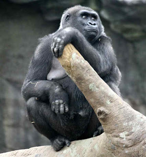 funny zoo gorilla mating sex joke picture
