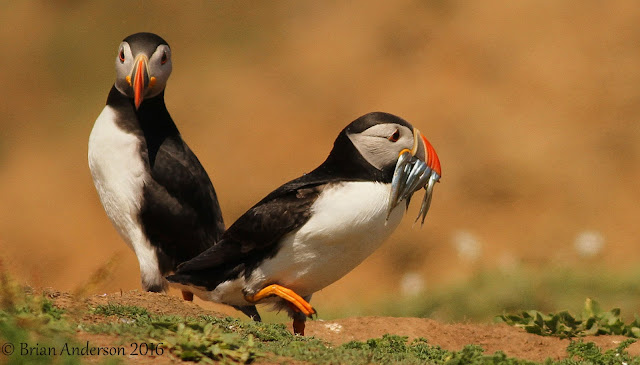 More images from Skomer Island