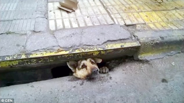 Stray Dog Is Set Free After Being Trapped In A Sewer For Four Days