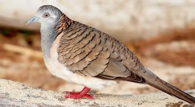 Cara Merawat Burung Perkutut Agar Rajin Gacor