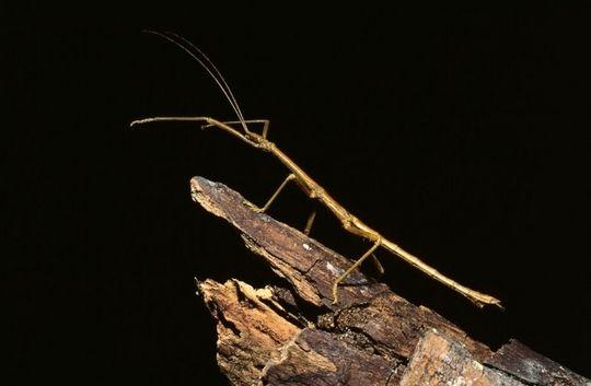 Serangga Batang (Stick Insect)