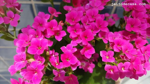 flores-da-kalanchoe