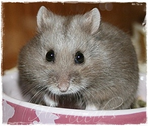 Campbell Dwarf Hamster Face