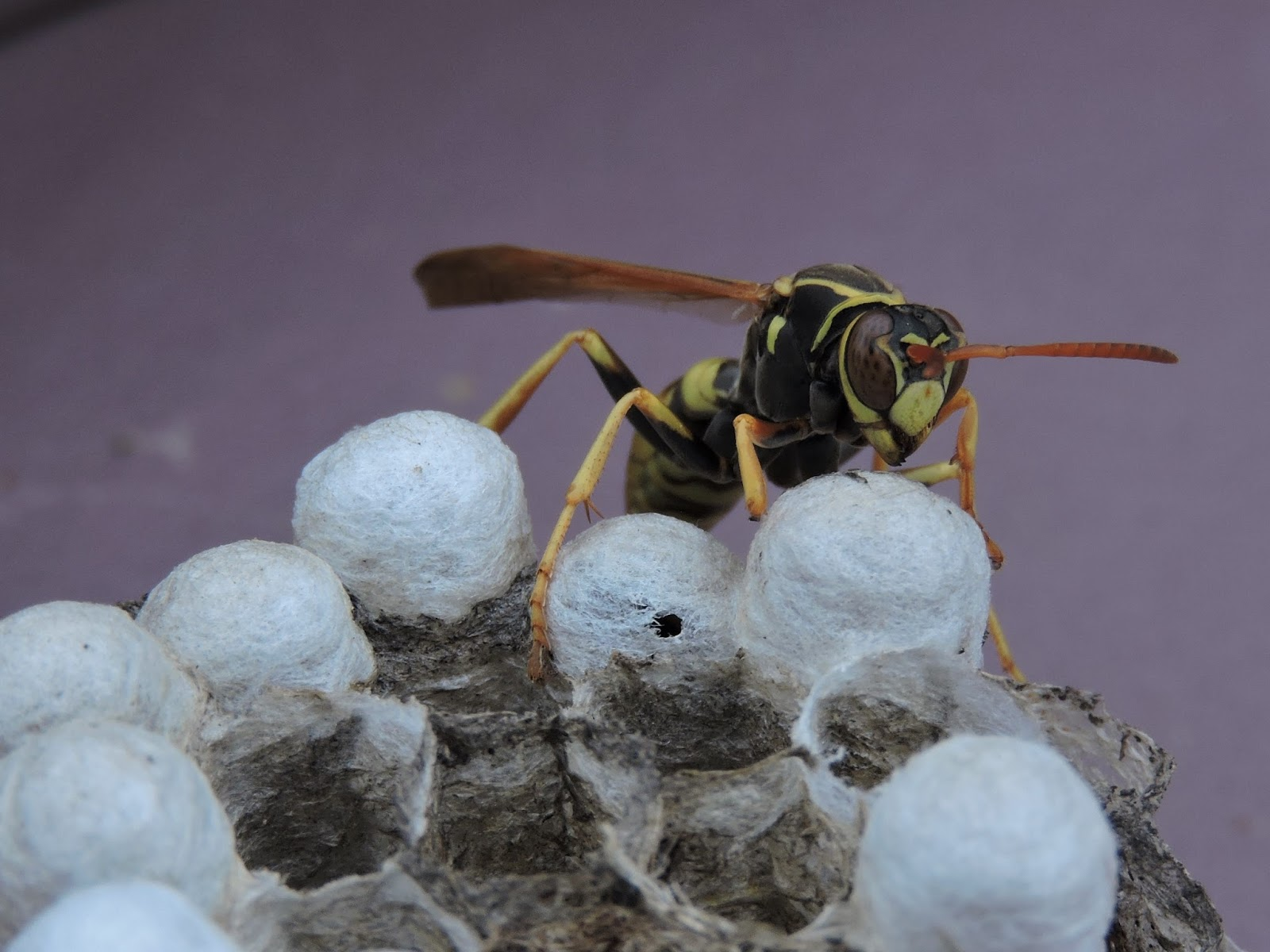 polistes aurifer a docile paper wasp which forms small nests [ 1600 x 1200 Pixel ]