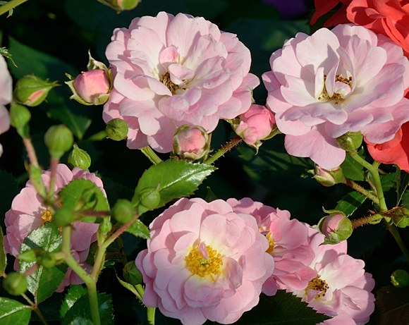 Satina сорт розы тантау фото