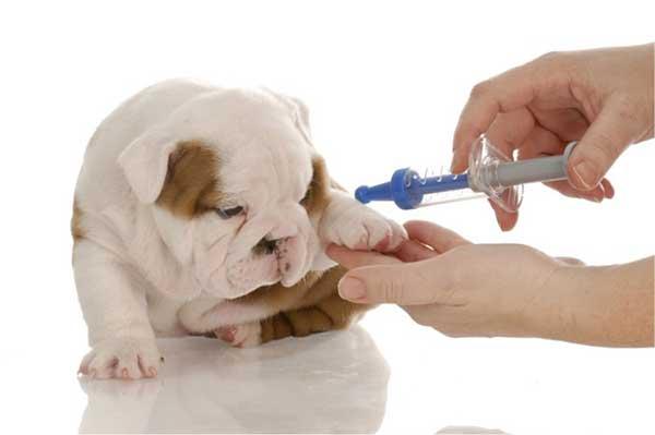 Phải làm sao khi chó bị dị ứng vacxin