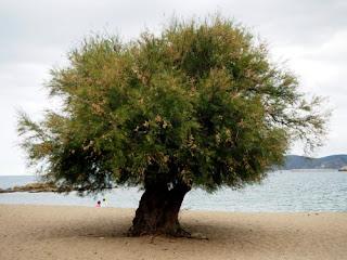 Tamariu a la Platja de Grifeu (Llançà) per Teresa Grau Ros