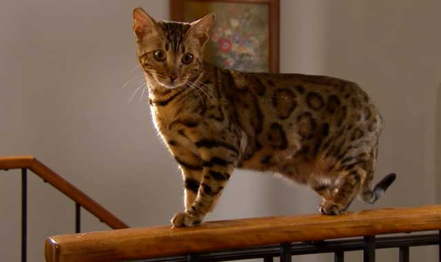 California Spangled Cat Breed Information