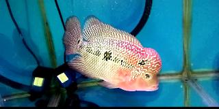 Jenis Ikan Louhan Kemalau
