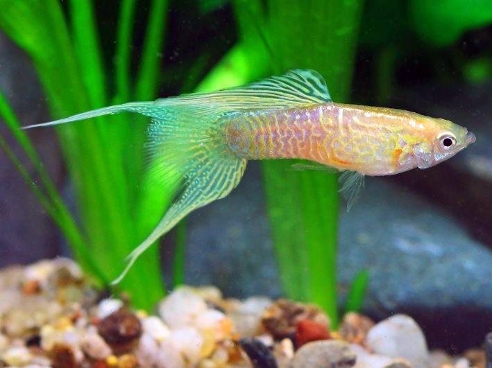 Gambar Bentuk Ekor Ikan Guppy Lyretail Hampir Sama Dengan Guppy Double Sword tail