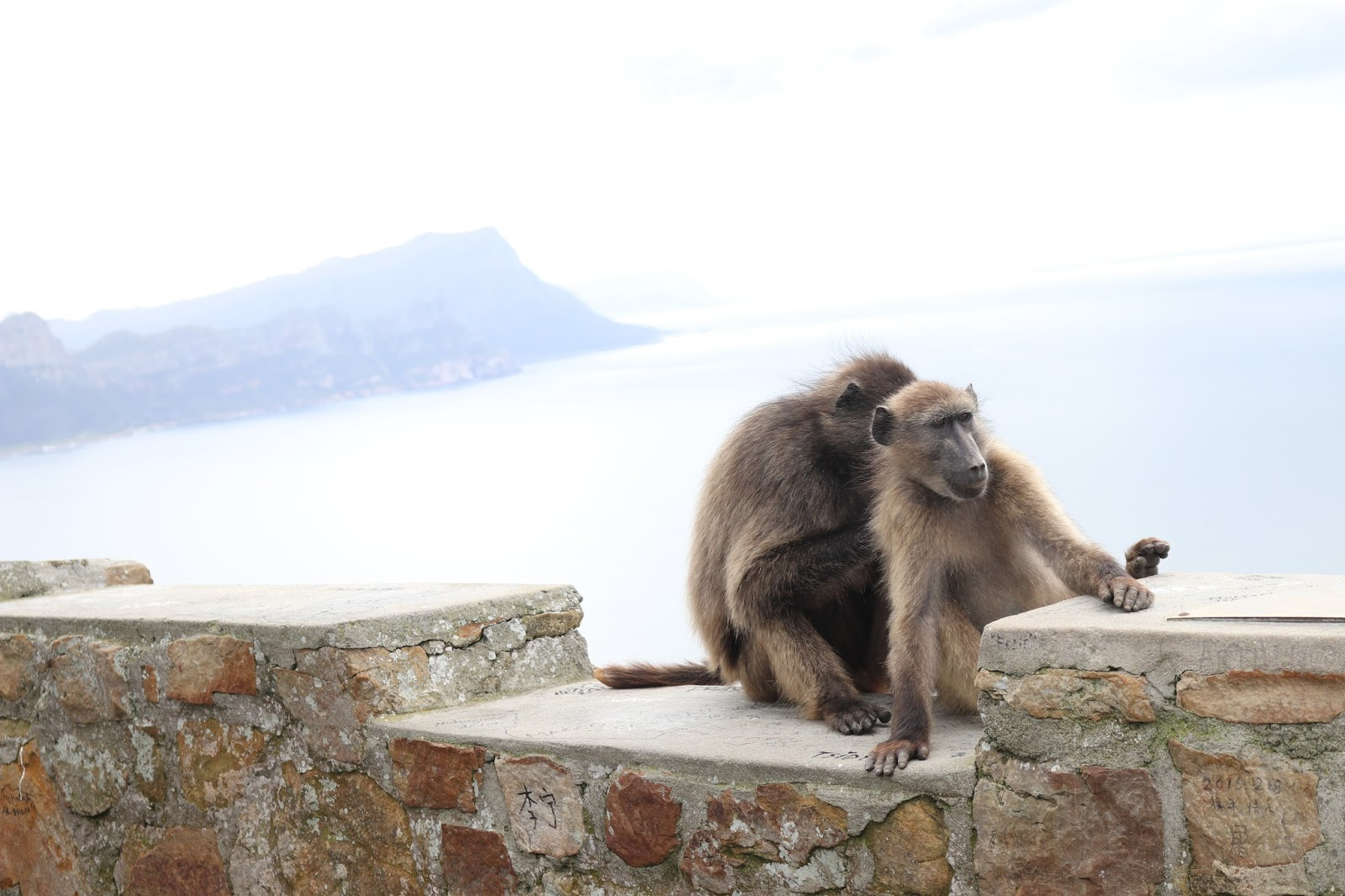 Baboons False Bay