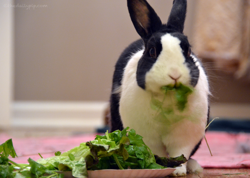 What should I feed my rabbit, greens, herbs and hay
