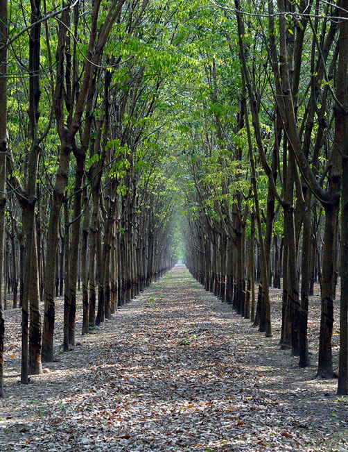 commercial rubber plantation