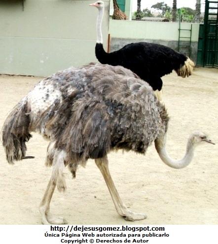Foto de Avestruces de perfil del Parque de la Leyendas. Foto de avestruces de Jesus Gómez
