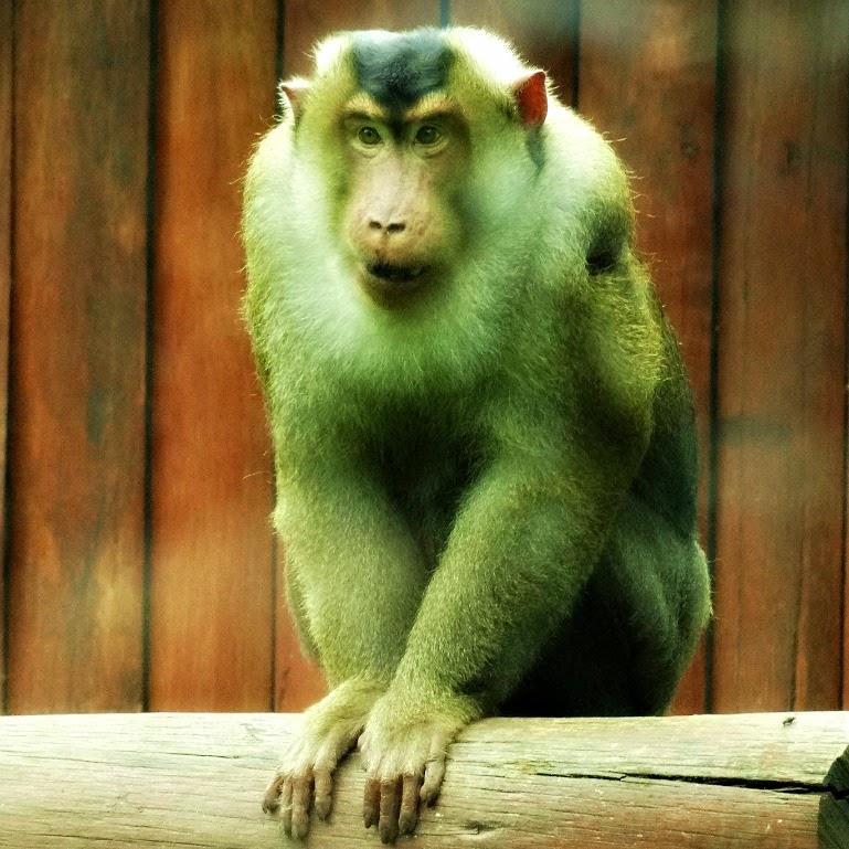 Uma das caras do macaco nemestrina