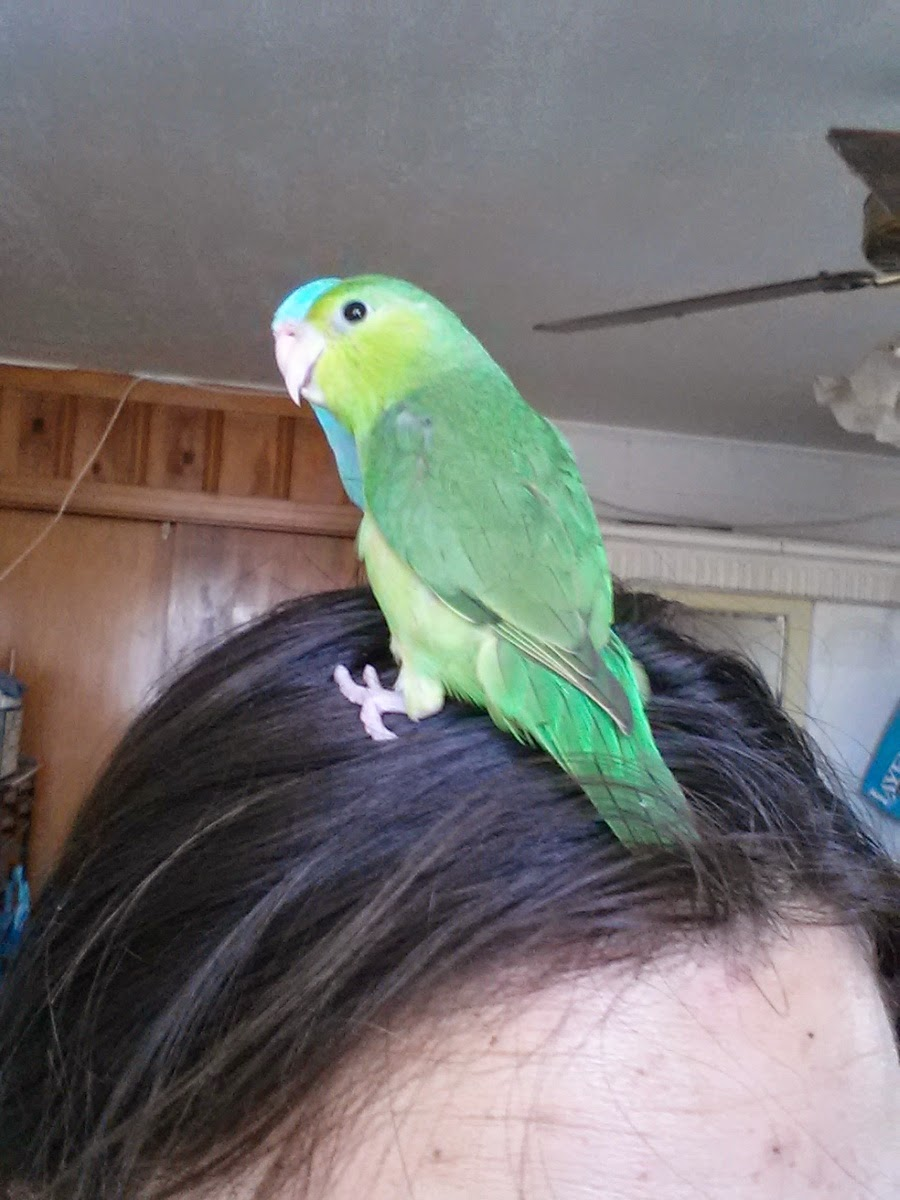 Texas Rebel Girl: Parrotlets