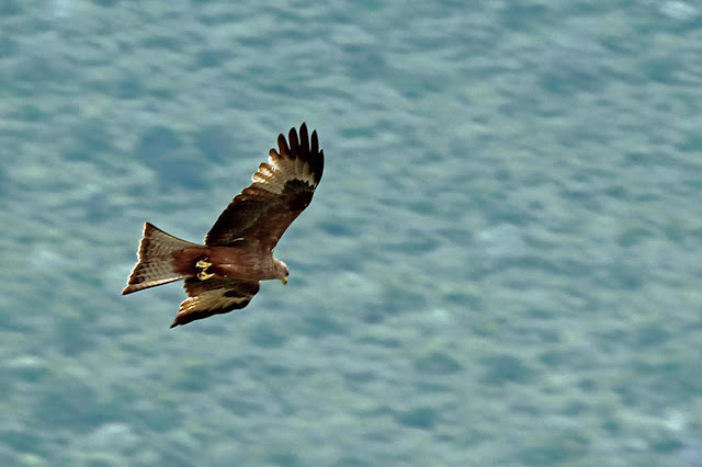 Buy stretched canvas wallart of Black Kite