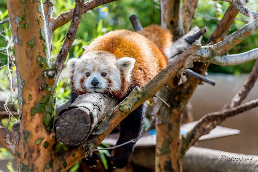 29. Sleepy Red Panda by Pratompong Wirabut