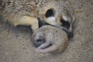 23 Adorable Pictures Of Shy Baby Meerkat And Its Family