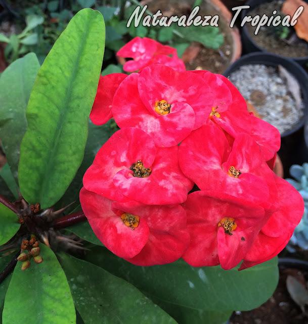 Flores rojas de gran tamaño de una Corona de Cristo o Corona de Espinas, Euphorbia milii